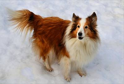 Photograph - Taffy In The Snow by Kathryn Meyer