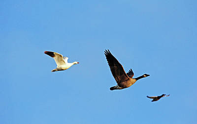 Photograph - Tag Along Ross's Goose by Debbie Oppermann