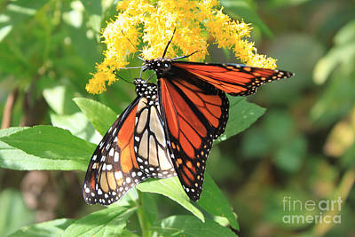 Photograph - Tag Team Monarchs by Cathy  Beharriell