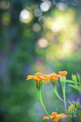 Dappled Light Photograph - Tagetes Dawn by Tim Gainey