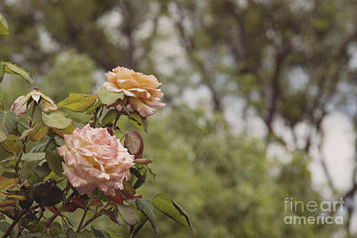 Photograph - 'tahitian Sunset' Roses by Cindy Garber Iverson