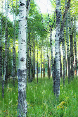 Photograph - Tahoe Birch by Wes Jimerson