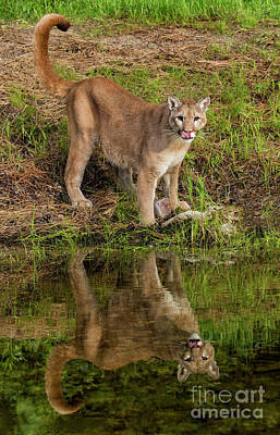 Photograph - Tail Curl Reflection by Art Cole