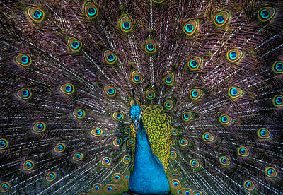 Photograph - Tail Feathers by Cathie Crow