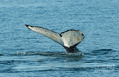 Juan De Fuca Photograph - Tail Of The Whale by Mike Dawson