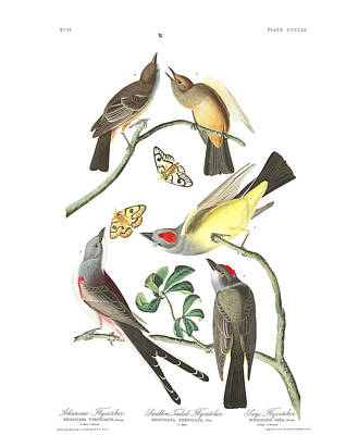 Flycatcher Painting - Tailed Flycatcher by MotionAge Designs