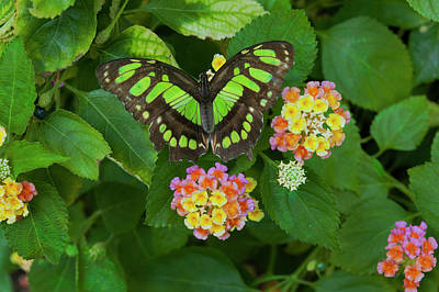 Photograph - Tailed Jay Butterfly 2 by Jim Thompson