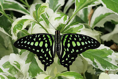Photograph - Tailed Jay Butterfly #2 by Judy Whitton