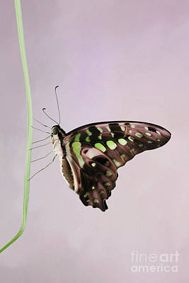 Photograph - Tailed Jay Butterfly V2 by Judy Whitton
