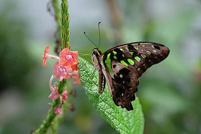 Photograph - Tailed Jay Butterfly4 by Ronda Ryan
