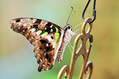 Photograph - Tailed Jay by Grant Glendinning