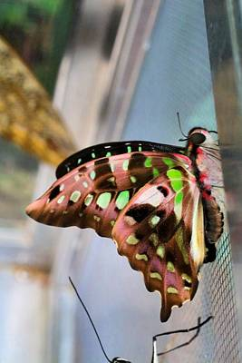 Photograph - Tailed Jay by Kathryn Meyer