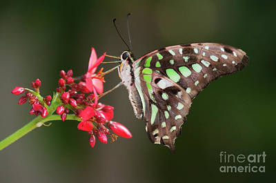 Photograph - Tailed Jay On Red Bloom by Ruth Jolly
