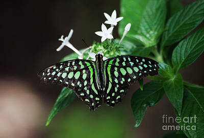 Photograph - Tailed Jay Wingspread  by Ruth Jolly