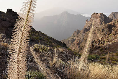 Photograph - Tajinaste Plants La Palma Canary Islands  by Marek Stepan