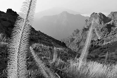 Photograph - Tajinaste Plants La Palma Canary Islands Monochrome by Marek Stepan