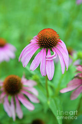 Photograph - Taking A Bow -neon Coneflower by Bruce Block