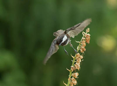 Photograph - Chickadee In Flight by Marilyn Wilson