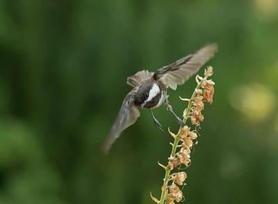Photograph - Chickadee In Flight by Marilyn Wilson