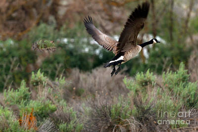 Canadian Marsh Photograph - Take Off by Robert Bales