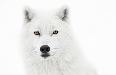 Arctic Wolf Photograph - Take The Pose by PNDT Photo