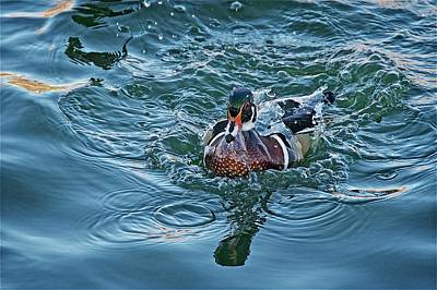 Photograph - Taking A Dip, Wood Duck by Flying Z Photography by Zayne Diamond