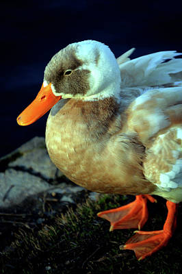 Photograph - Taking A Rest Duck Big Spring Park by Lesa Fine