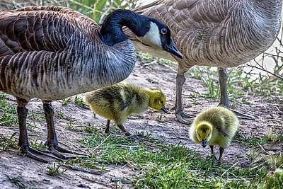 Photograph - Taking Care Of Goslings by Belinda Greb