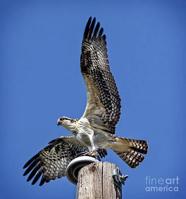 Photograph - Taking Off by Robert Bales