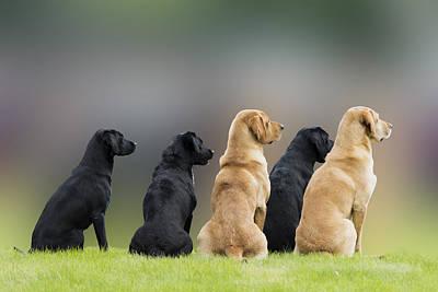 Photograph - Talented Labradors by Veli Bariskan