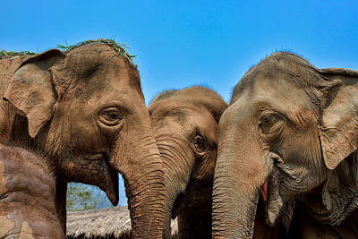 Lee Craker Royalty-Free and Rights-Managed Images - Talking Elephants by Lee Craker