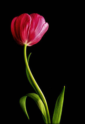 Photograph - Tall And Graceful Tulip by David and Carol Kelly