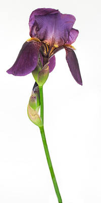 Photograph - Tall And Majestic Iris by David and Carol Kelly