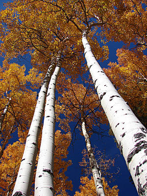 Photograph - Tall Aspen by Diana Douglass
