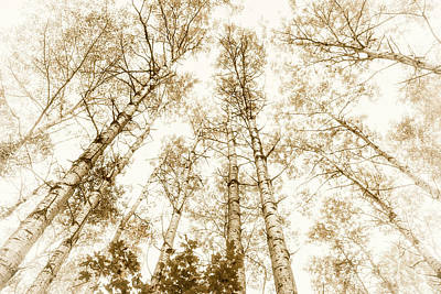 Tall Aspens Art Print by Elena Elisseeva