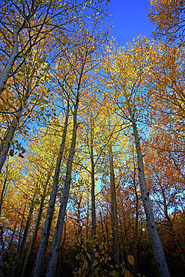 Photograph - Tall Aspens by Eastern Sierra Gallery