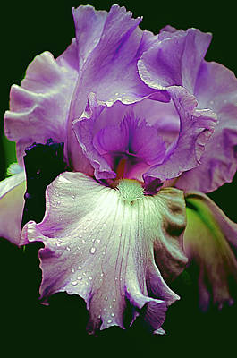 Photograph - Tall Bearded Iris In Lavender by Julie Palencia