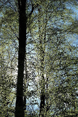 Photograph - Tall Beech Trees Spring Leaves by Martin Stankewitz