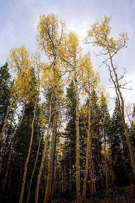 Photograph - Tall Golden Aspens by Marilyn Hunt