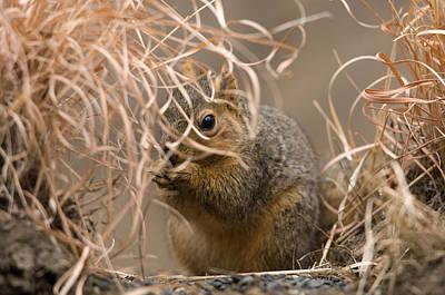 Tall Grasses Make Up A Fox Squirrels Art Print by Joel Sartore