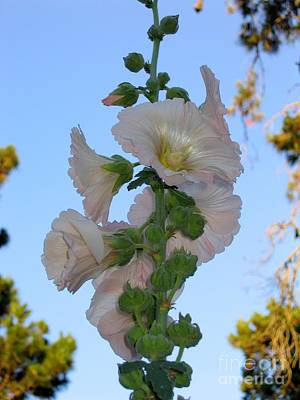 Photograph - Tall Hollyhock by James B Toy