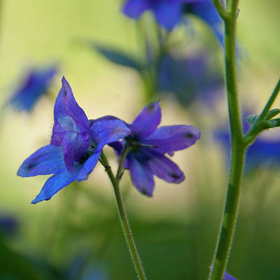 Photograph - Tall Larkspur Wildflower Detail by Cascade Colors