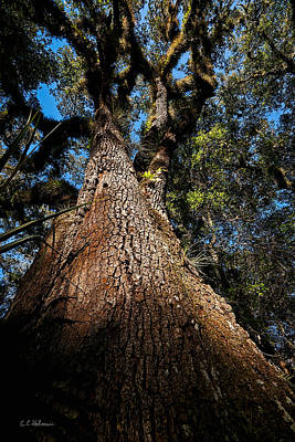 Photograph - Tall Oak by Christopher Holmes