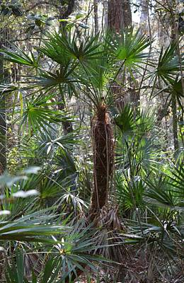 Photograph - Tall Palmetto - Serenoa Repens by rd Erickson