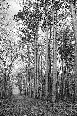 Photograph - Tall Pines Along The Pine River 2 Bw by Mary Bedy