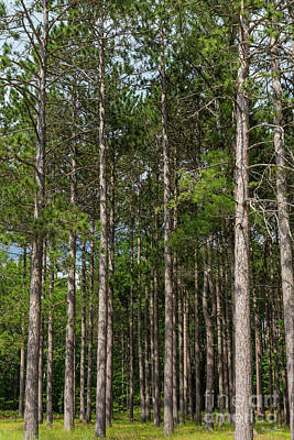 Photograph - Tall Pines by Jennifer White