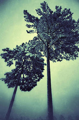 Photograph - Tall Pines by Sarah Coppola