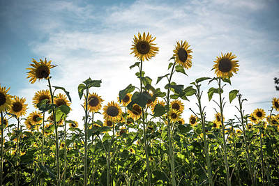 Photograph - Tall Strong Sunflowers  by Anthony Doudt