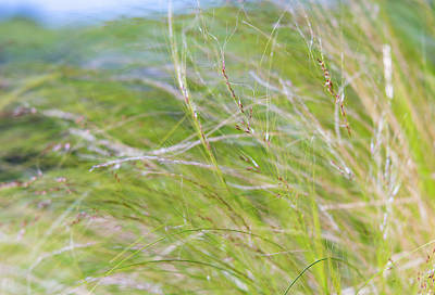 Photograph - Tall Switch Grasses Gently Blowing In The Wind by Barbara Rogers Nature Inspired Art Photography