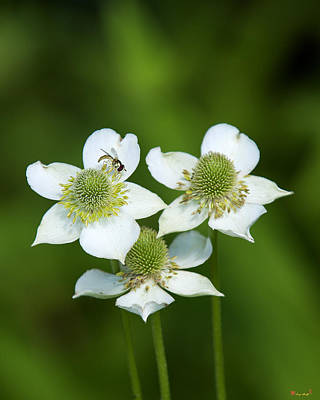 Photograph - Tall Thimbleweed Dsmf0228 by Gerry Gantt